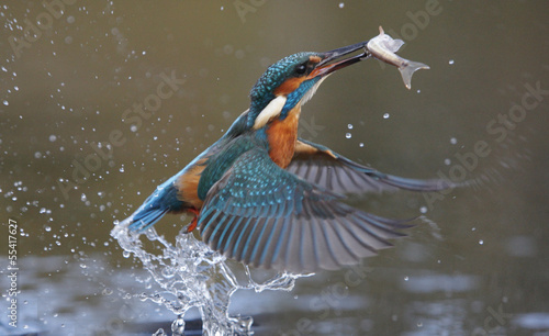 Canvas Print Kingfisher, Alcedo atthis
