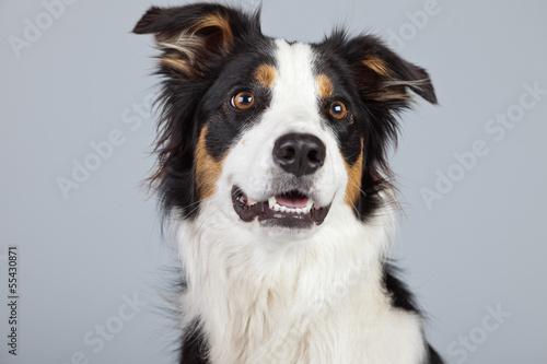 Border collie dog black brown and white isolated against grey ba Fototapeta
