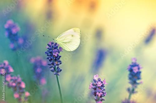 Naklejka premium Motyl na lawendzie