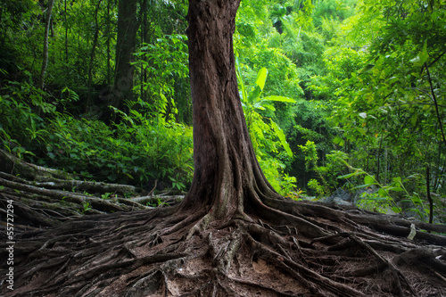 Canvas Print Old tree with big roots in green jungle forest