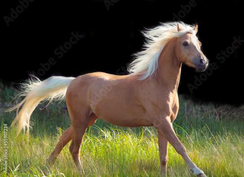 Obraz na płótnie galoping palomino welsh pony at black background