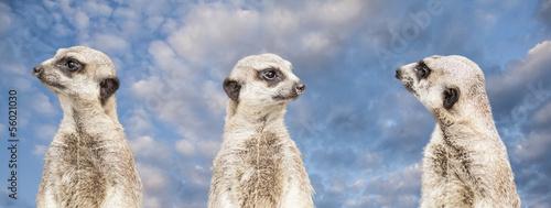 meerkats #56021030