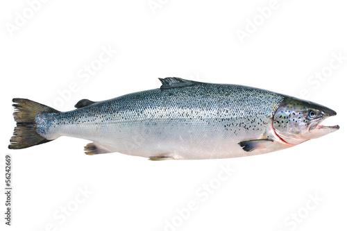 Stampa su Tela Atlantic salmon
