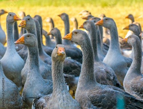 Tablou Canvas perigord geese
