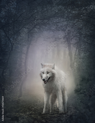 Fototapeta Bílý vlk