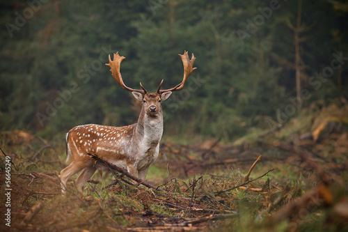 Photo Fallow deer looking at camera