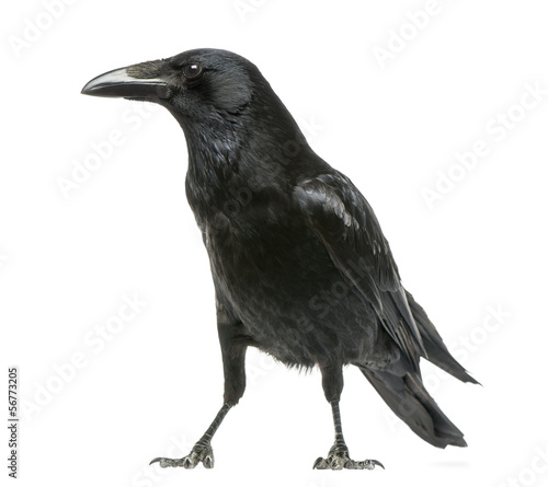 Photo Side view of a Carrion Crow, Corvus corone, isolated on white