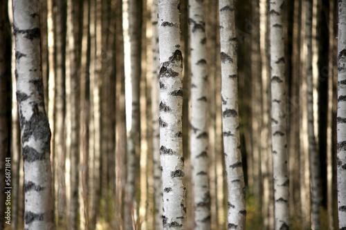trunks of birch trees #56871841