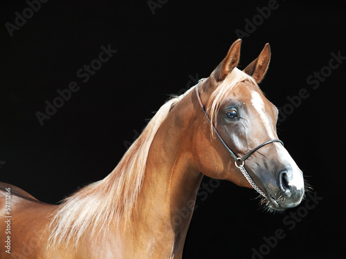 portrait of young arabian filly at black background #57111266