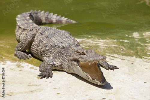 crocodile Tapéta, Fotótapéta