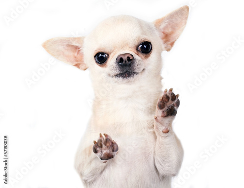 Fototapeta funny chihuahua