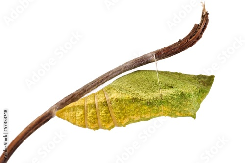 Leinwand Poster Old World Swallowtail (Papilio machaon) butterfly, chrysalis