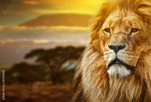Lion portrait on savanna background and Mount Kilimanjaro