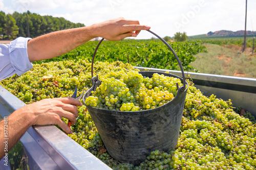 Stampa su Tela chardonnay harvesting with wine grapes harvest