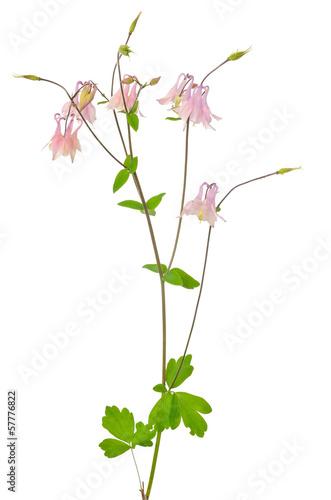 Aquilegia vulgaris flower Fototapete