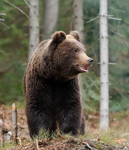 Fotografie, Obraz Bear