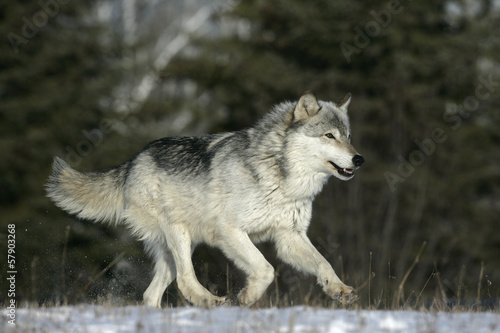 Grey wolf, Canis lupus #57903268