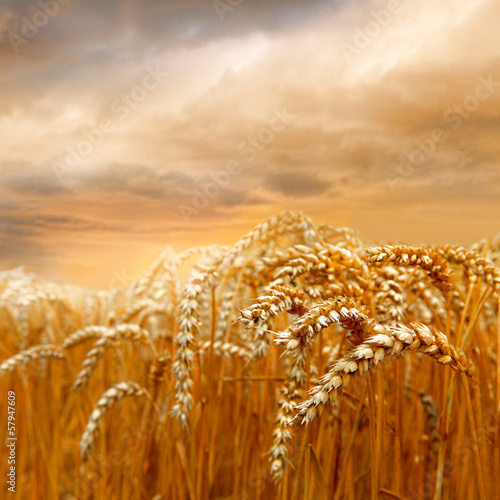 Dojrzałe pole pszenicy.
