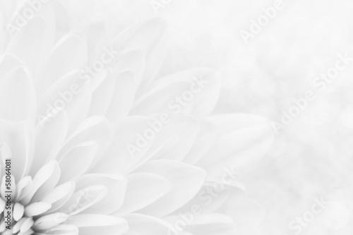 Foto Makroschuß der weißen Chrysanthemenblumenblätter