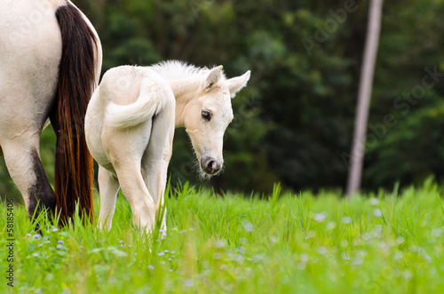 Canvas-taulu White horse foal in a green grass.