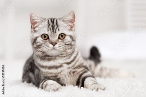 Cat on the carpet #58337096