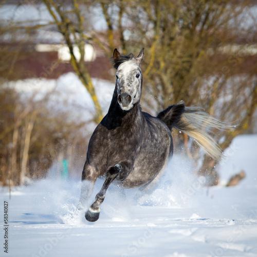 Arabian horse gallops in winter #58340827