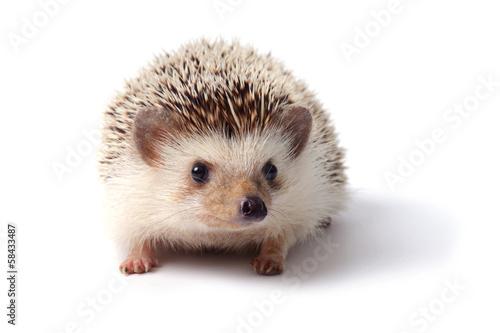 Fotografia, Obraz Little hedgehog.