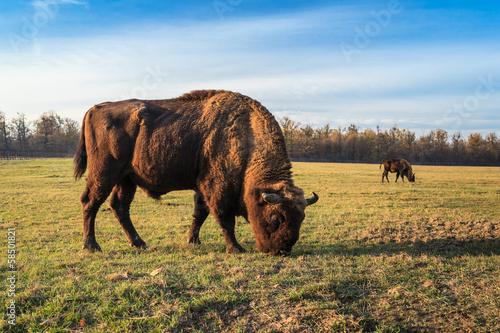 Canvas Print aurochs