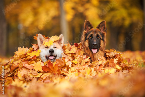 Two dogs lying in leaves Poster Mural XXL