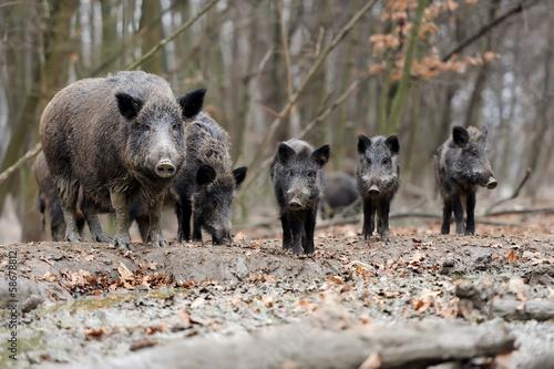 Obraz na plátne Wild boar