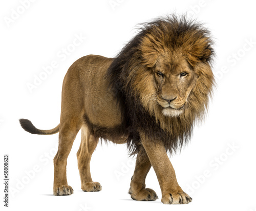 Side view of a Lion walking, looking down, Panthera Leo