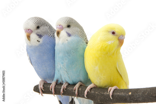 three budgies are in the roost #58871403