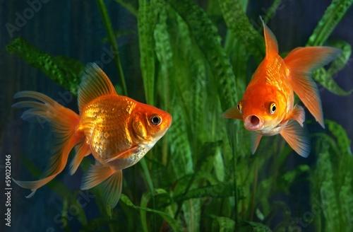 Obraz na plátně Goldfish, aquarium, a fish on the background of aquatic plants