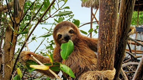 Photo Baby sloth eating mangrove leaf