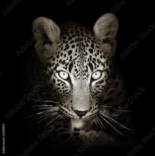 Leopard portrait in toned b&w