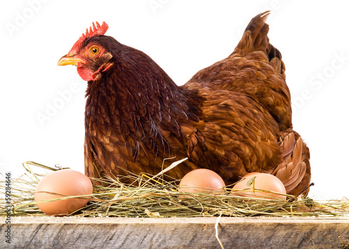 Stampa su Tela Hen in hay with eggs isolated on white