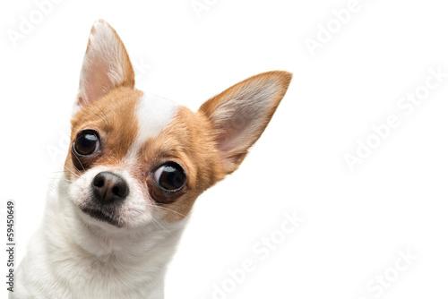 Obraz na plátně Funny Chihuahua vykukující rámeček