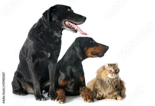 Fotografia labrador retriever, cat and dobermann