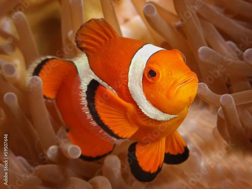 Falscher Clownfisch Tapéta, Fotótapéta