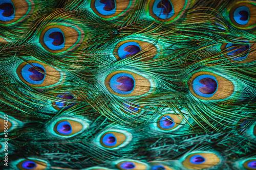 Fototapeta Kolorowe pawie pióra do pokoju