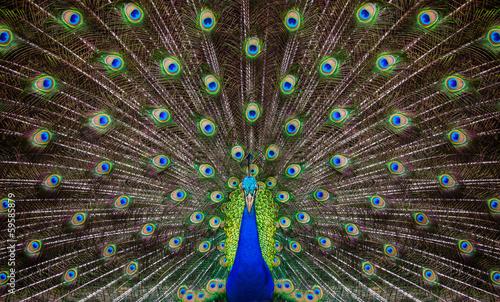 Fototapeta premium Portrait of beautiful peacock