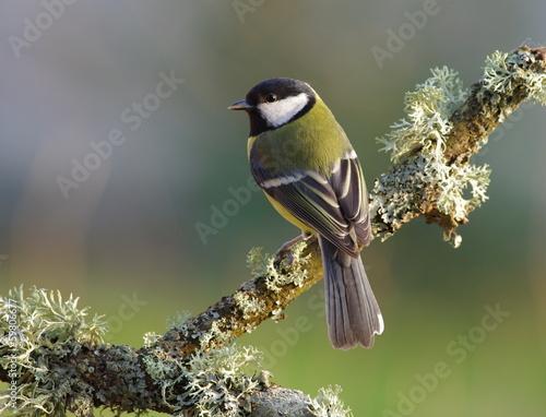 Fototapeta premium Great tit on a branch,green background