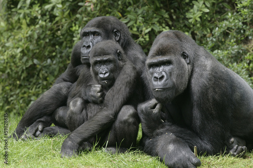 Fototapeta Gorily nížinné, Gorilla gorilla