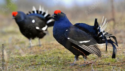 Fotografie, Tablou Two lekking black grouses