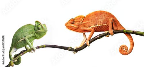 chameleon - Chamaeleo calyptratus on a branch #60439028