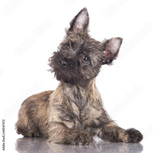 adorable cairn terrier puppy Fototapete