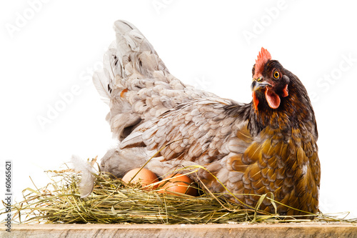 Chicken in nest with eggs isolated on white Fototapet
