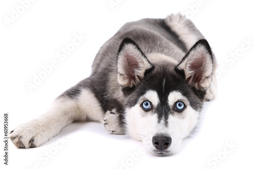 Canvas Print Beautiful cute husky puppy, isolated on white