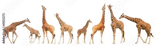 Photo Giraffe (Giraffa camelopardalis)