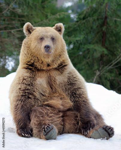 Fototapeta Bear in winter